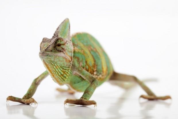 camaleao-verde