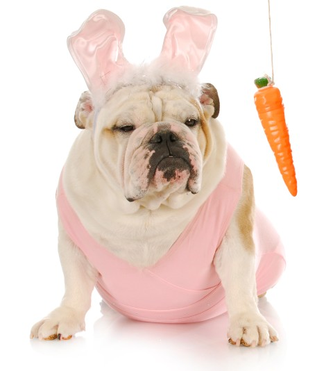 cenoura para bulldog