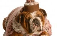 fêmea de bulldog