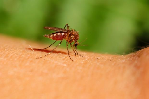 mosquito transmissor