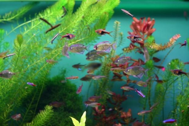 peixes rosa