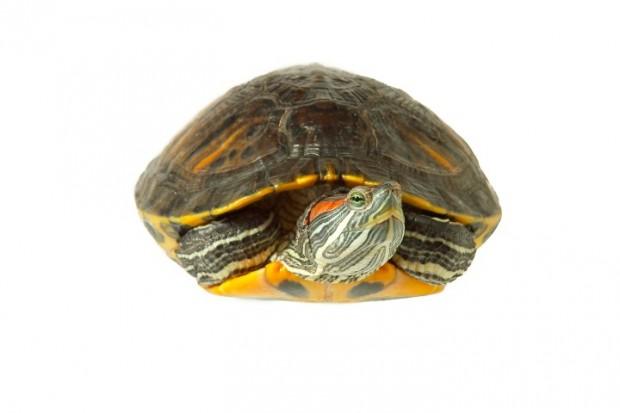 tartaruga de aquário